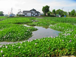 Kazo_Michinoeki_Otone_Water_Hyacinth_1.jpg